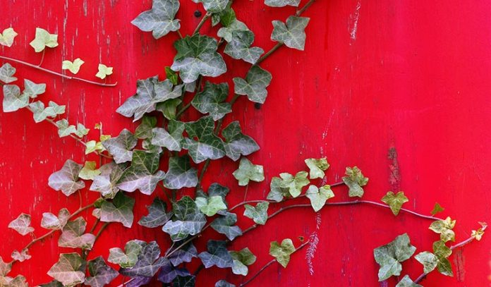 (English Ivy has been rated as one of NASA's top plants that purify air