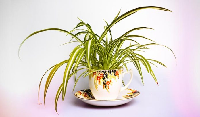 The spider plant has the amazing ability to remove odor.