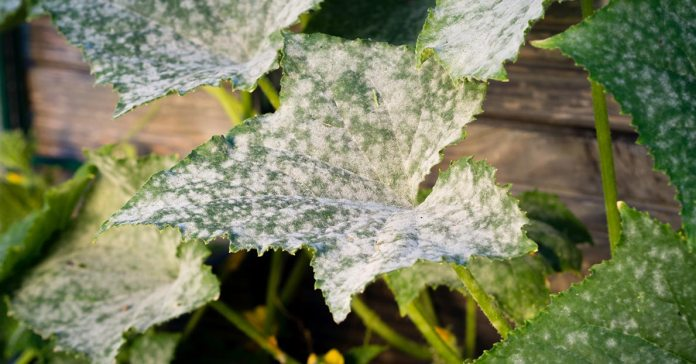 Mildew is a very stubborn fungus that occupies dark and damp places at home.