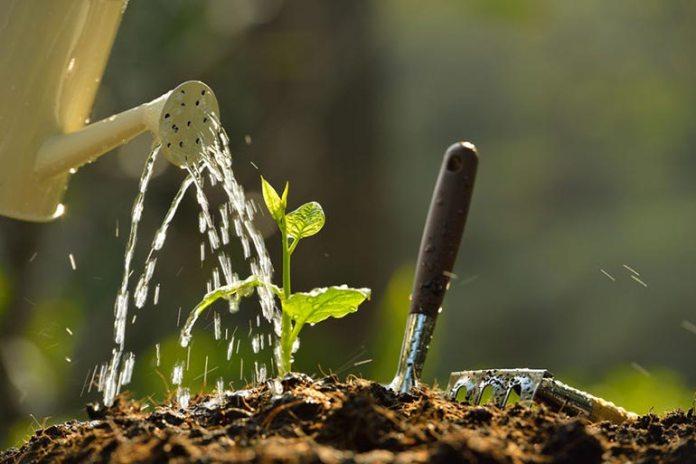 Plants can die or turn yellow due to overwatering or underwatering
