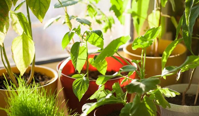 Smoke can make plants grow