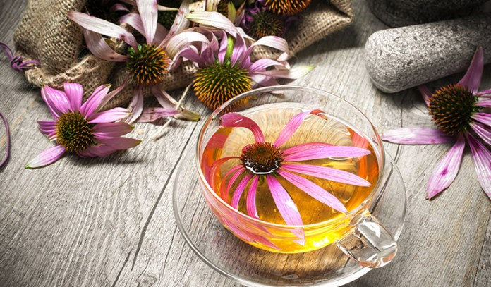 Echinacea root has the ability to increase the immune cells