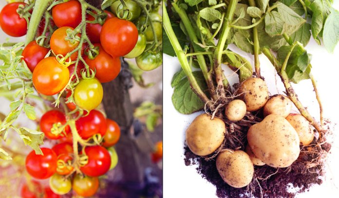 Potatoes and tomatoes shouldn't be grown side-by-side as the same blights attack the two plants.