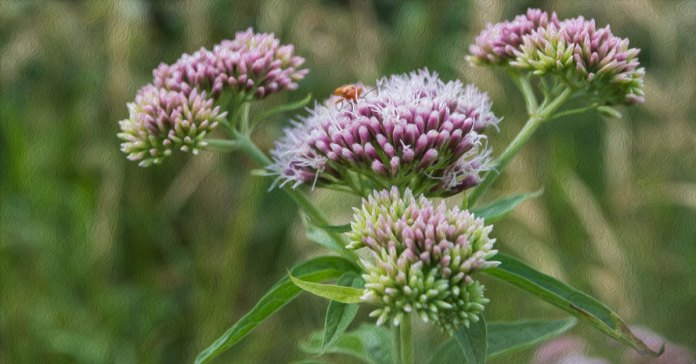 Valerian is known as nature's valium, without the side effects.