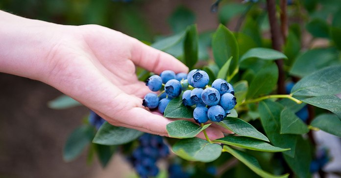 health benefits of blueberries.