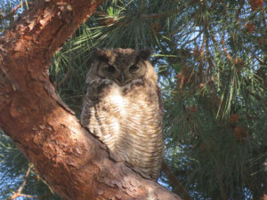 Great-horned owl in its roosting tree on the LMU bluff
