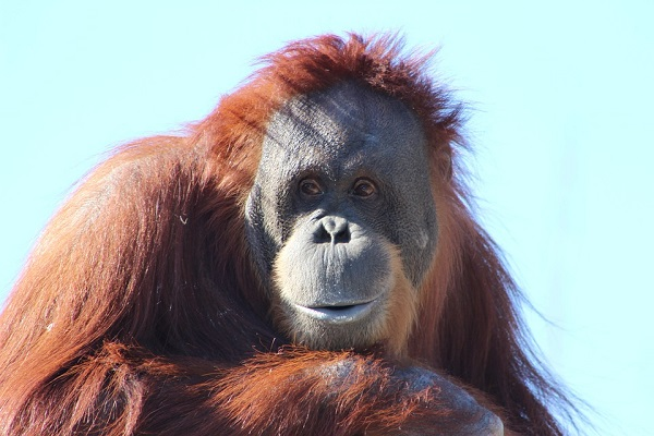 Resultado de imagem para orangotango