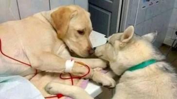 Cão doente é consolado por cão assistente e foto viraliza