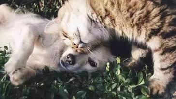 cães e gatos não transmitem COVID-19 a humanos