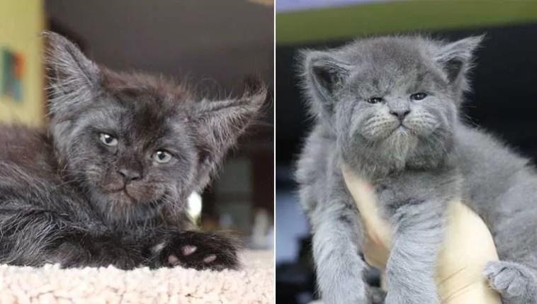 Ninhada de gatinhos MaineCoon