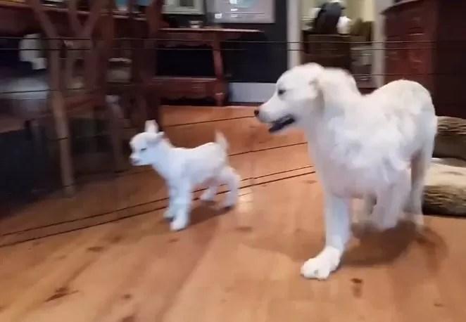 Golden retriever branco fica alegria