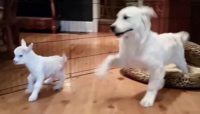 Golden retriever branco fica louco de alegria