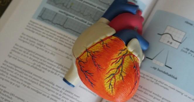 curiosidades sobre o coração humano ciência