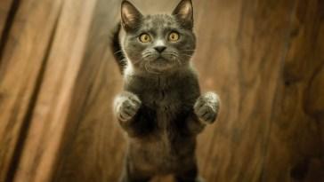 Teste de DNA promete esclarecer raças de gatos