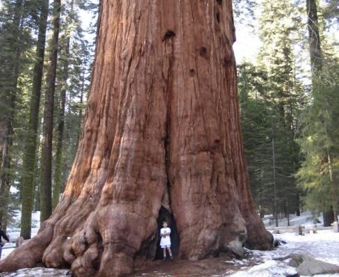10 das maiores árvores do mundo 1