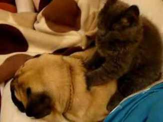 Gato haciendo masaje a un perro