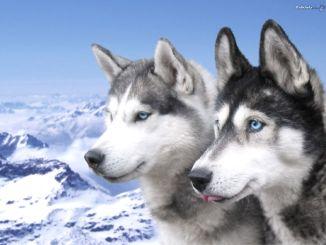 perro o lobo