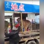 FUERTE VÍDEO: Un hombre es ferozmente mordido en la calle por el tigre de un circo en China