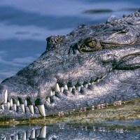 VÍDEO: Un dron filma a un cocodrilo de agua salada mientras nada tras una cacería