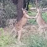 Un hombre interviene para separar a dos canguros boxeadores (VÍDEO)