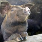 Épico combate 'cuerpo a cuerpo' entre un hombre y un cerdo sobre el techo de un camión (VIDEO)