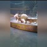 Impactante Vídeo: Un tigre y un león atacan a un caballo en el circo