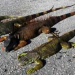 Iguanas descongeladas atacan a residentes en Florida