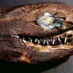 FOTOS: Estos 'tiburones víboras' estremecen con sus mandíbulas a lo 'Alien'