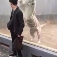 VÍDEO: Un enorme tigre blanco 'ataca' a un visitante de un zoológico en China