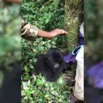 Bebé gorila juega al escondite con turistas en el bosque de Uganda.