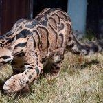 Encuentran en Taiwán un leopardo creído extinto desde hace más de 30 años