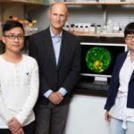Crearon un embrión sintético con una sola célula