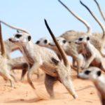 La danza de guerra suricata