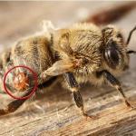 Bacterias genéticamente modificadas para abejas