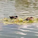 Los patos duermen en nenúfares en el Palacio de Schönbrunn de Viena