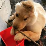 El cachorro de Golden unicornio es furor en las redes