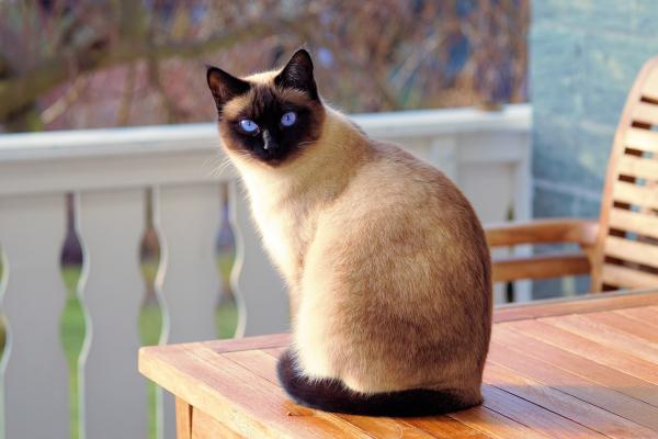 A Siamese cat with bright blue eyes sitting on a chair.