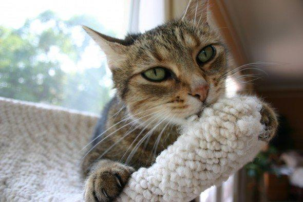 A Tabby cat with green eyes biting on wool wrapped object