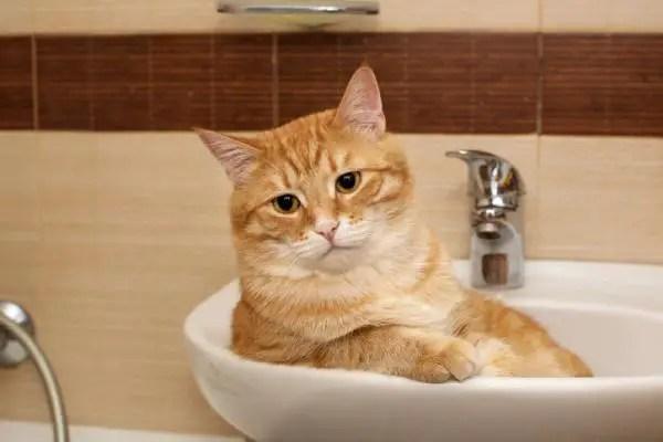 Strange cat behaviors: A red Tabby cat sitting in a bathroom sink