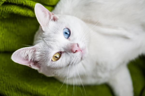 A white Khao manee cat with one blue and one orange eye
