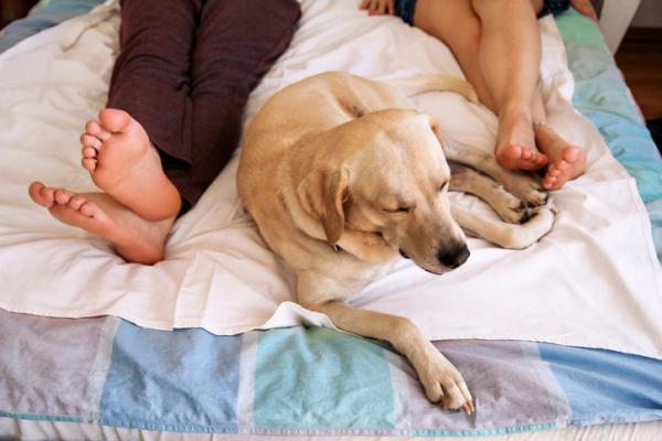 A white Labrador sleeping next to the feet of his caregivers