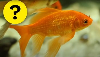 """A picture of a fish and next to it a question mark """"Do fish sleep""""."""