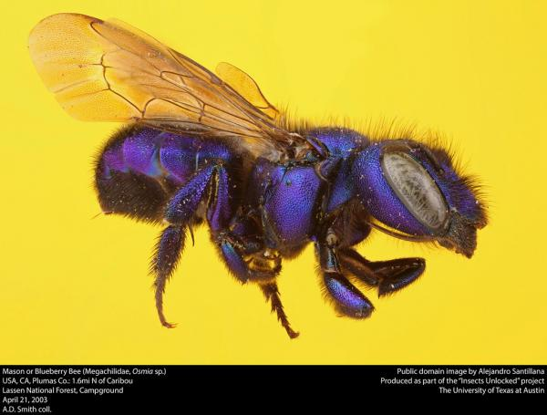 Purple bee of the family Megachilidae on a yellow background.