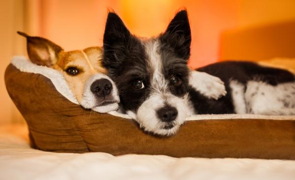 Two terrier breed dogs cuddle next to each other