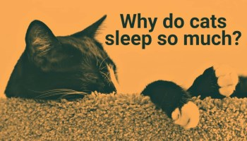 """Picture of a sleeping cat. Next to the cat there is a text, and in the text it says """"why do cats sleep so much""""."""