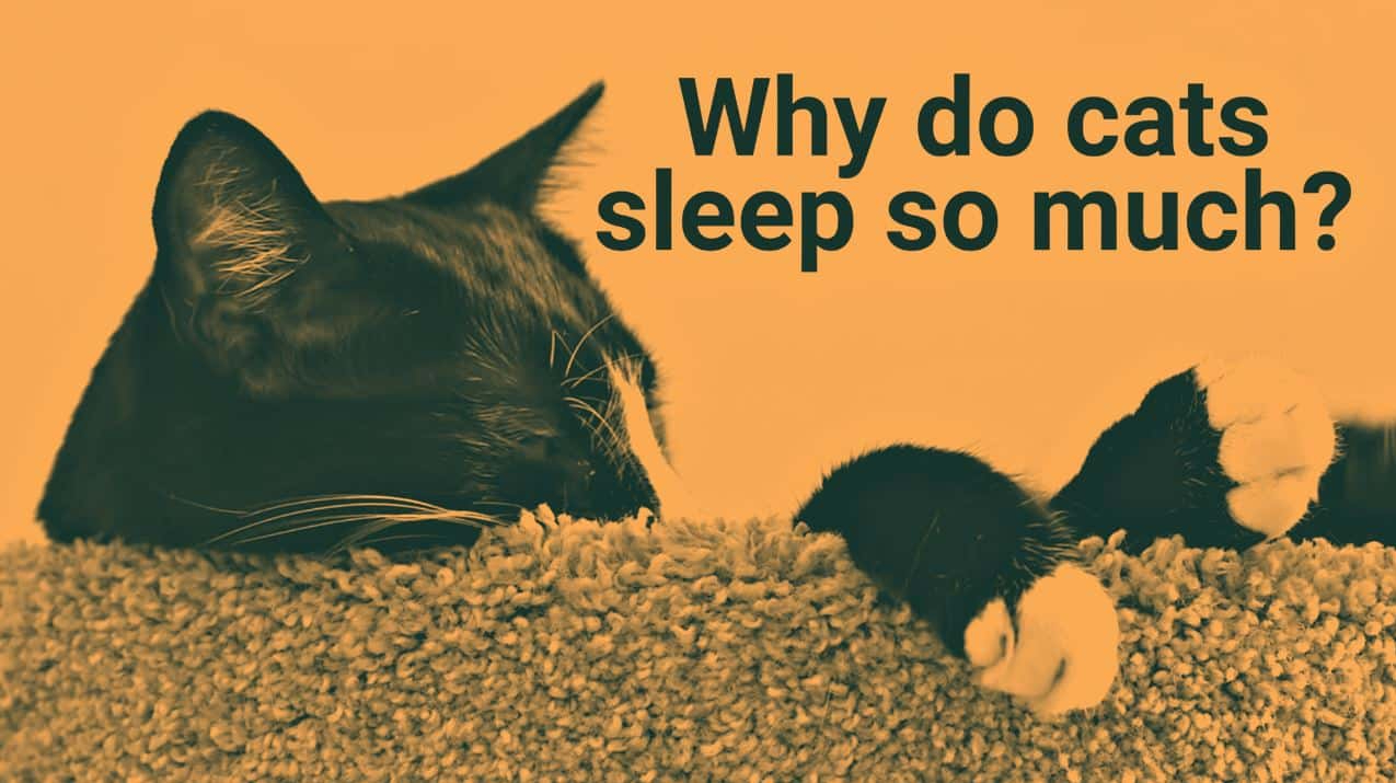 "Picture of a sleeping cat. Next to the cat there is a text, and in the text it says ""why do cats sleep so much""."