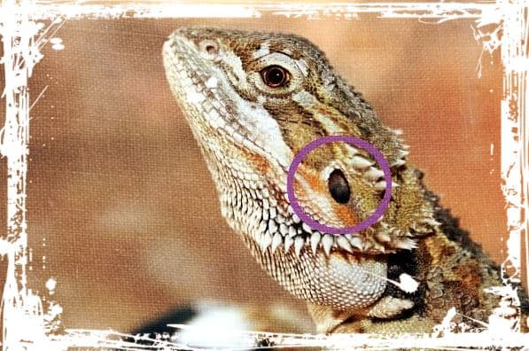 How do lizards hear.