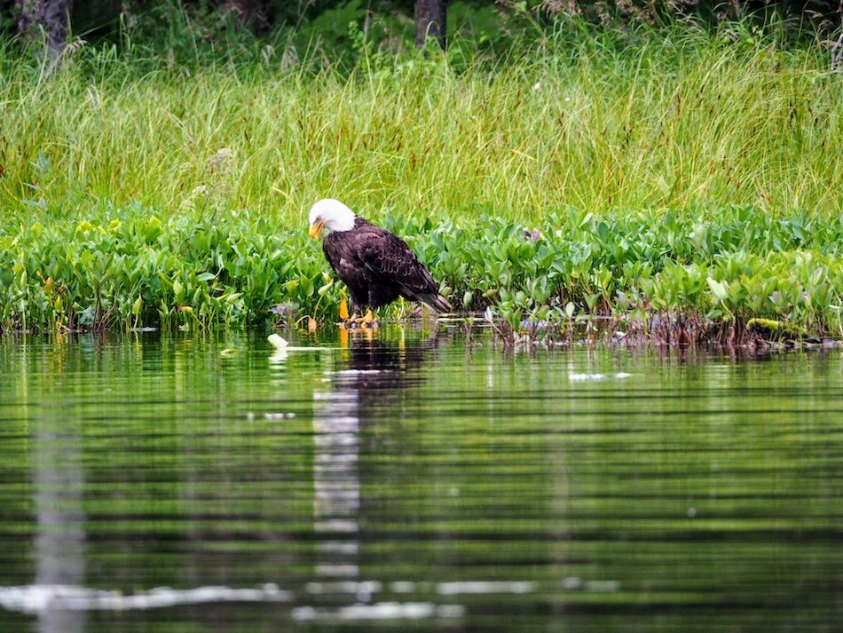 Bald eagle looking into water
