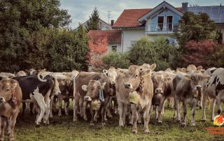 Almabtrieb and Viehscheid German Alpine Cow Parade in Autumn