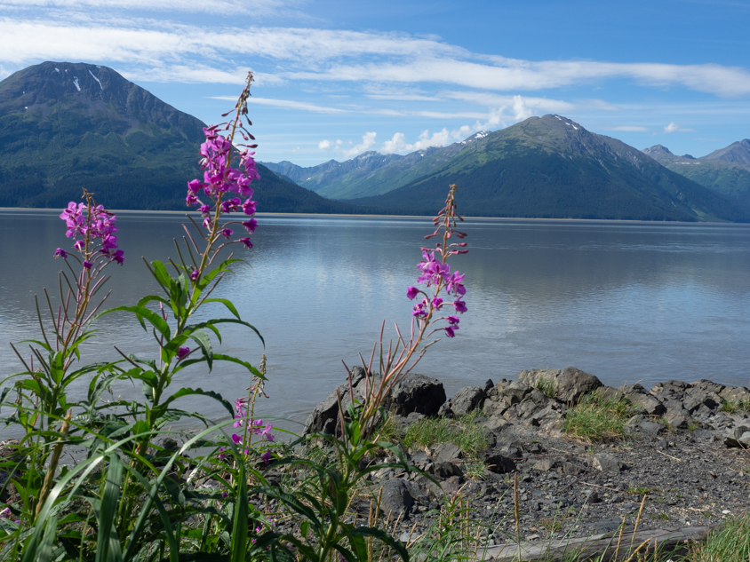 Fireweed in front of Turnagain Arm with mountains behind